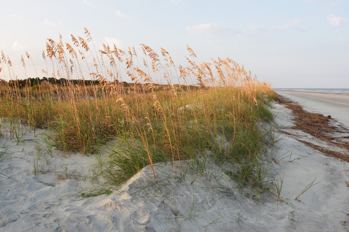 golden sea oats poke up from a coastal dune habitat