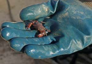 tiny crab on gloved hand