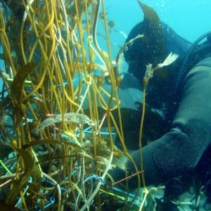 SCUBA diver examines kelp