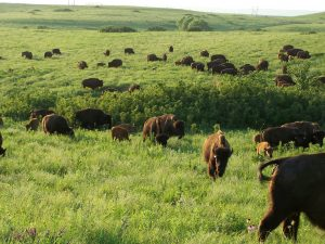 Bison herd on Konza Whiles 2007.jpg
