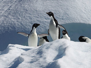 Adelie penguins--a mjor research topic at Palmer LTER
