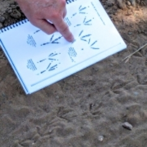 Volunteer citizen scientists successfully identify a mourning dove track.