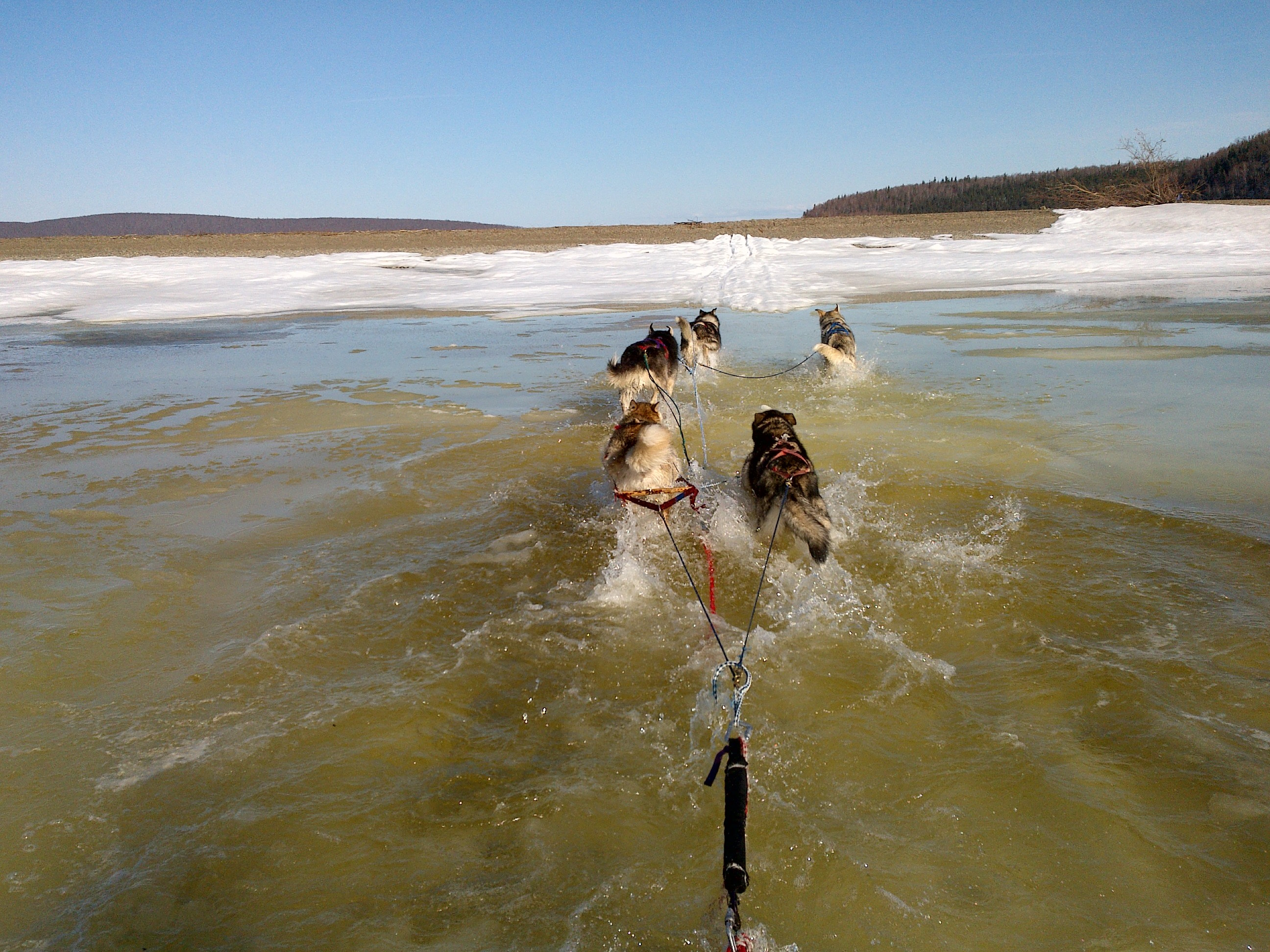 sled dogs swim a sled across a river