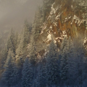 white spruce forest in Alaska