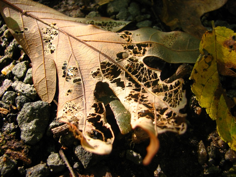 decomposing leaf