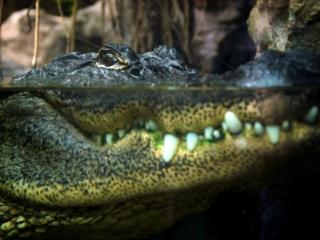 Alligator, close-up
