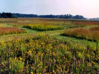 experimental plots with a variety of old field species