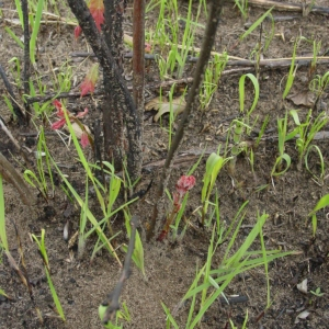 Understory resprouting after an experimental burn.