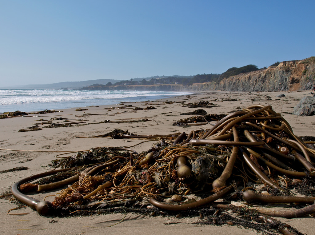 Pile of kelp fronds on a beach