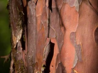 peeling tree bark