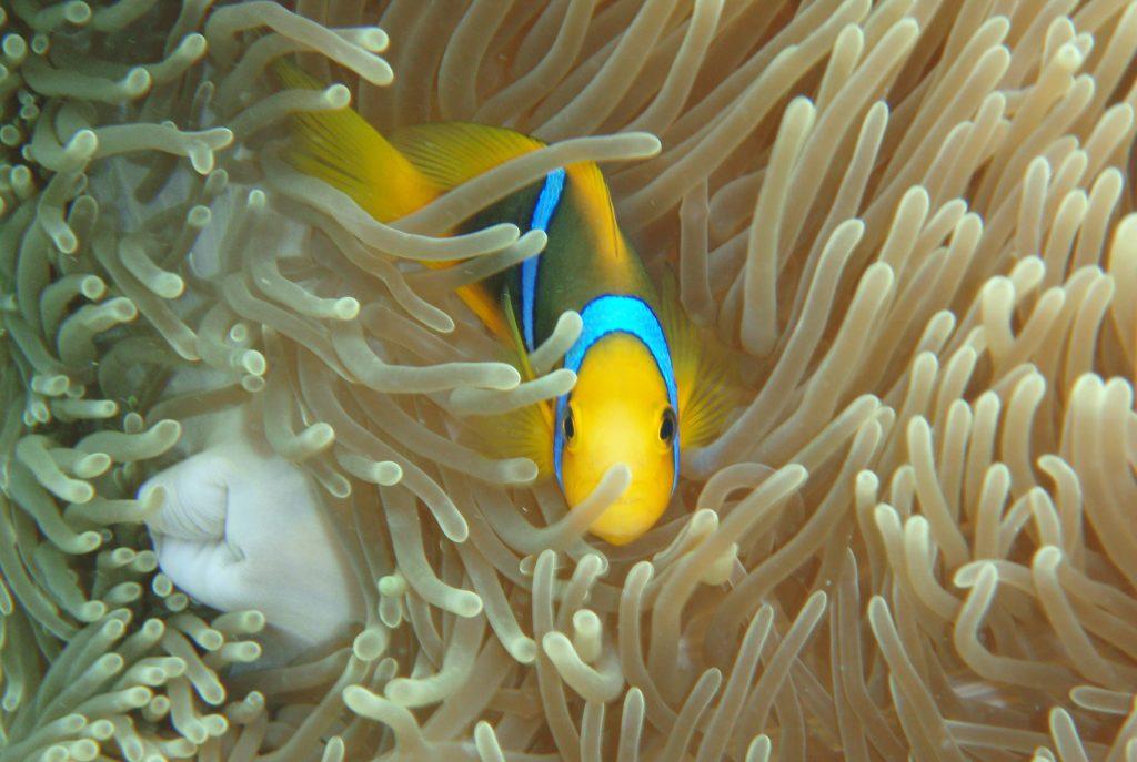 Anemone fish amongst anemone