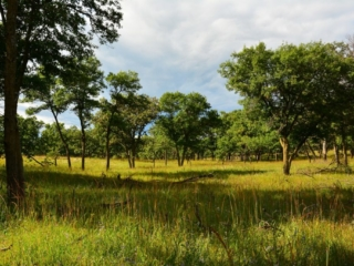savannah grassland with trees
