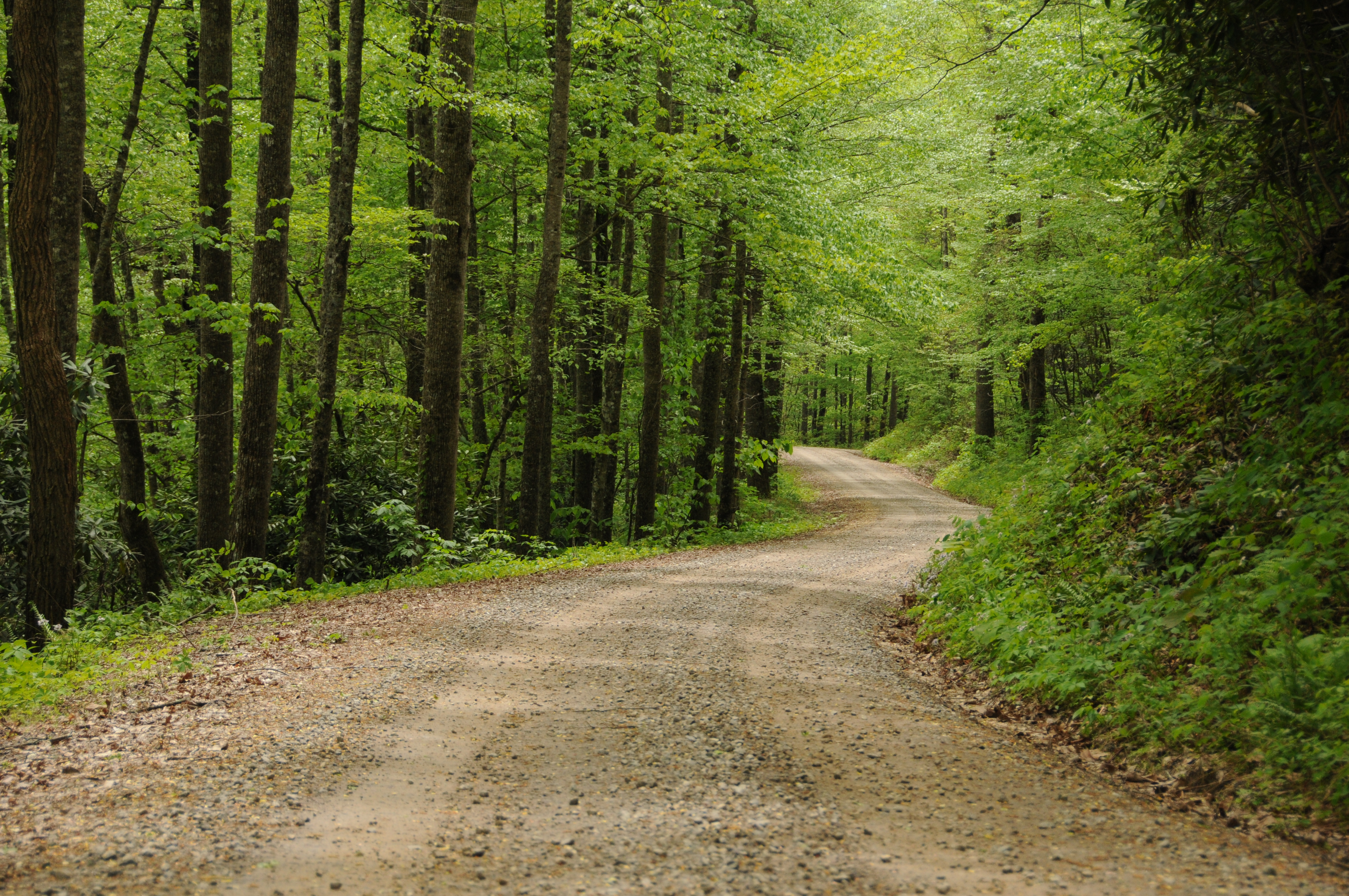 country road between tall trees