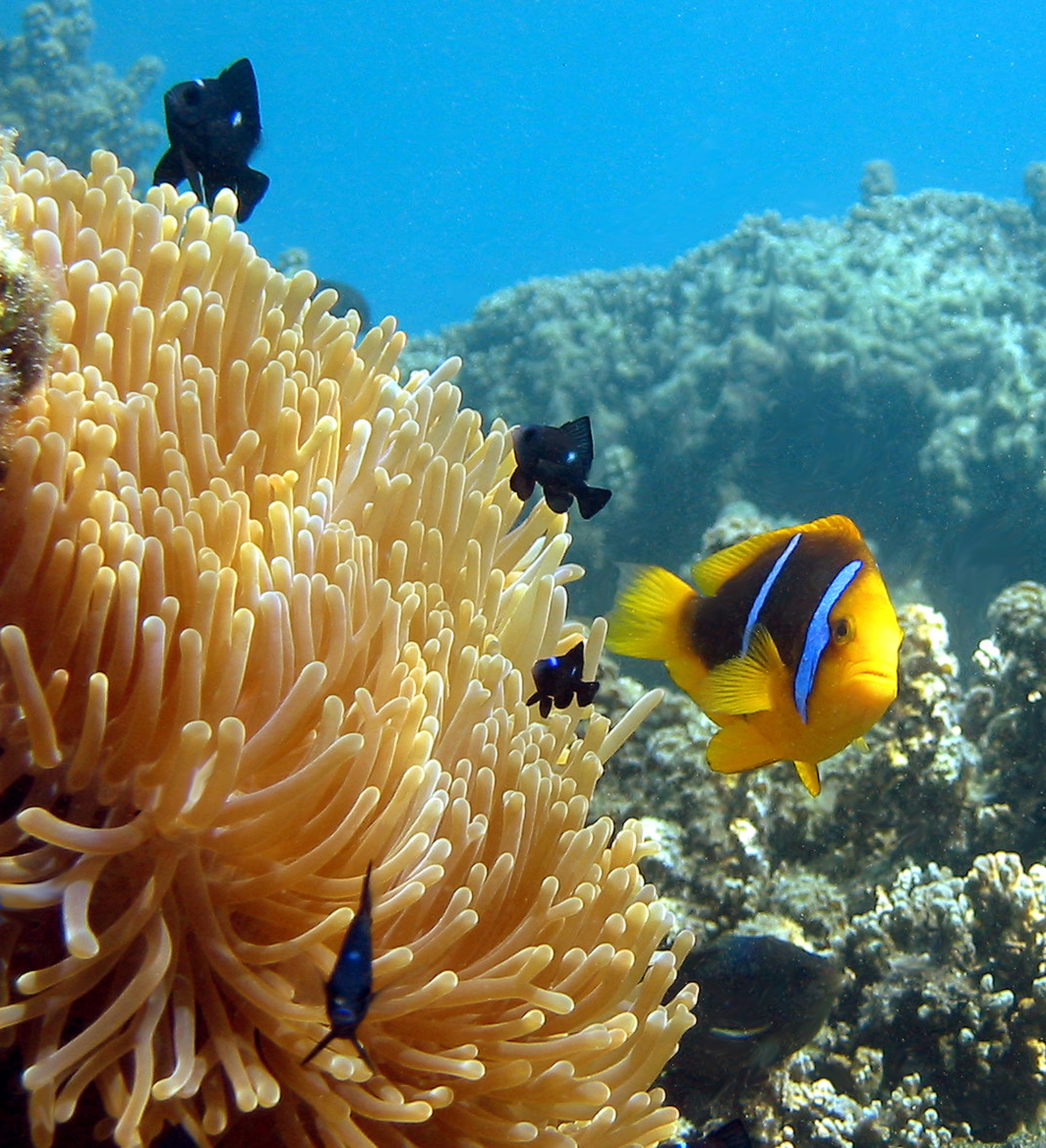 anemone fish with large clup of anemone and corals in background