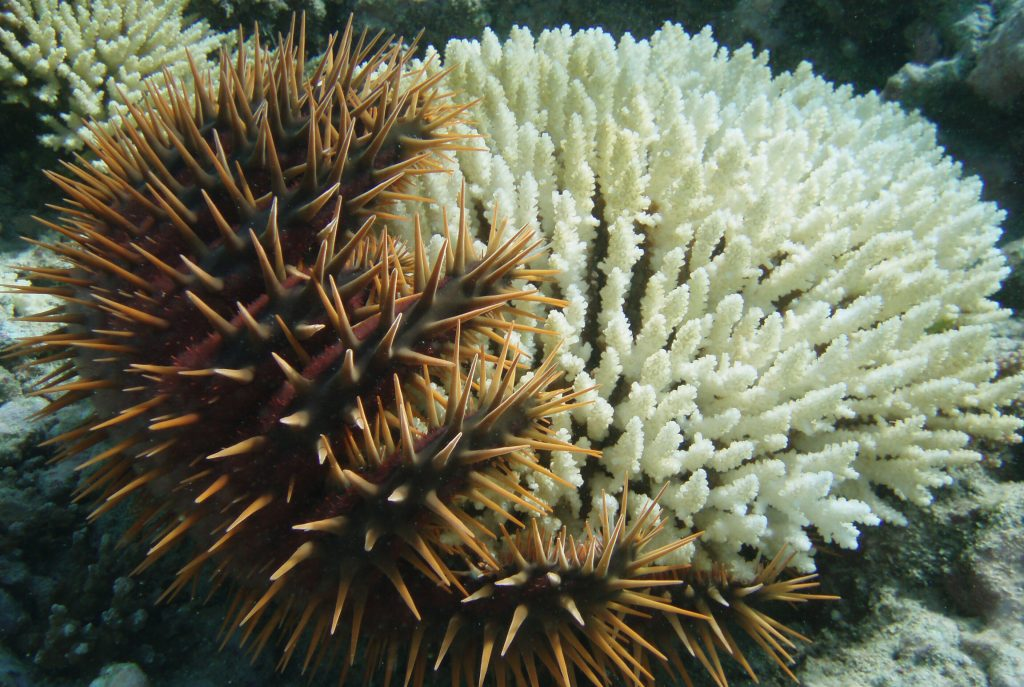 crown of thorns sea star