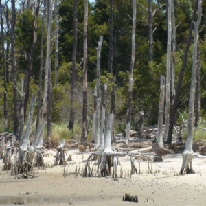 dead trees with beach eroded from around their roots