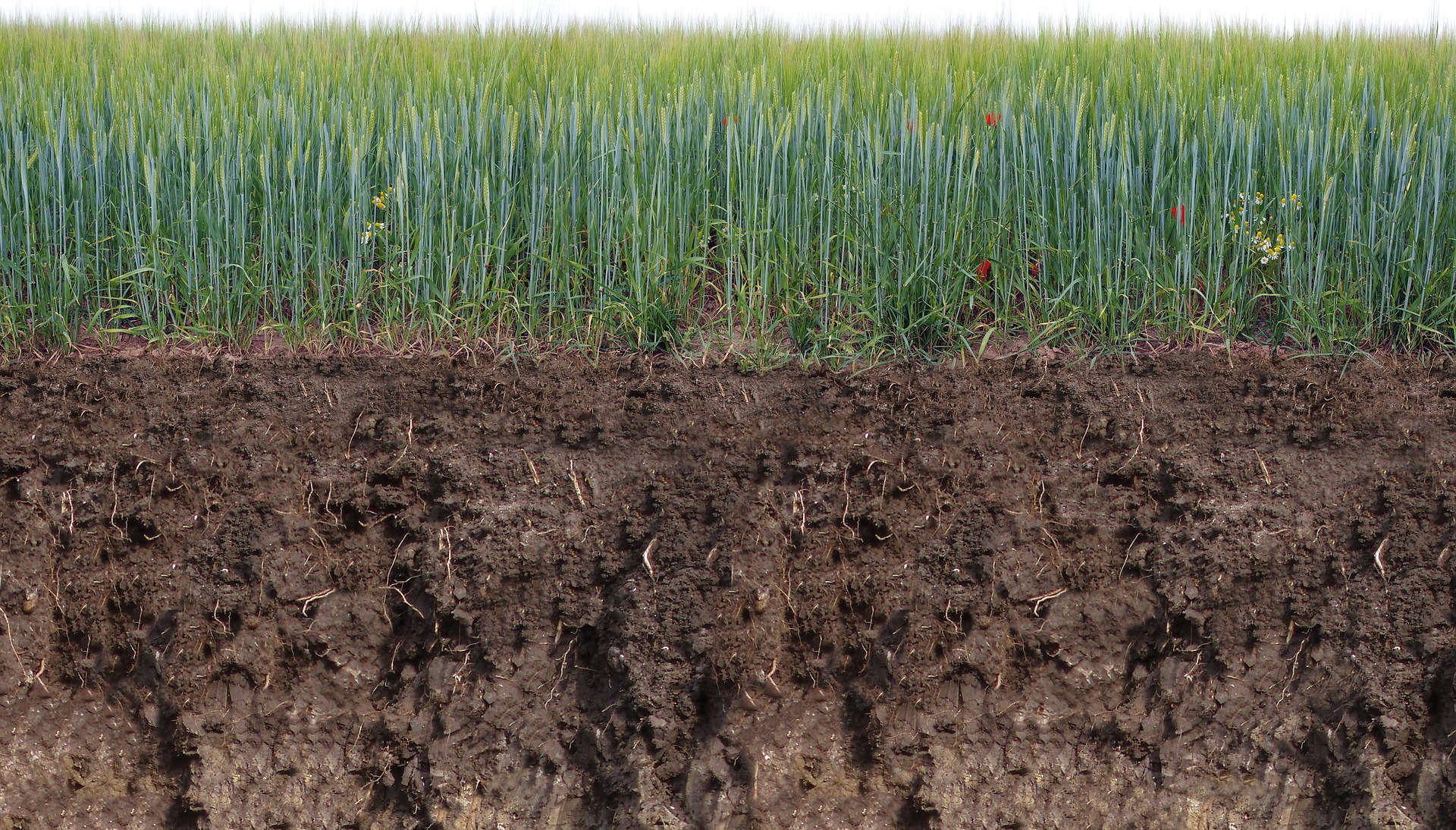 deep soil profile, rich in organic matter, with grain growing on top