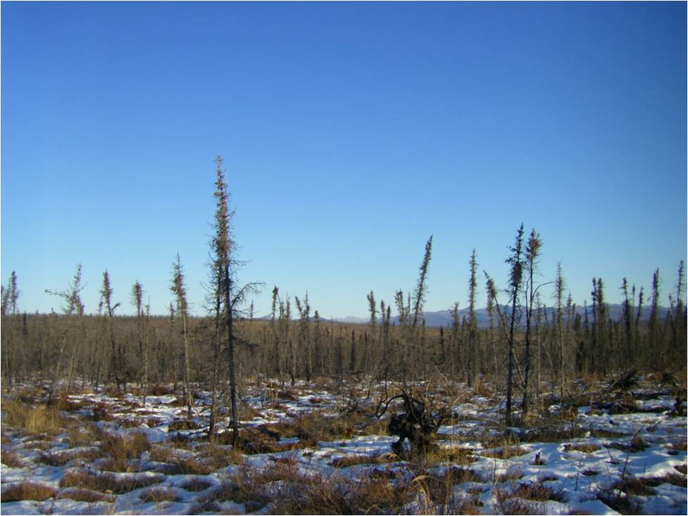 tipping trees in frozen marsh.