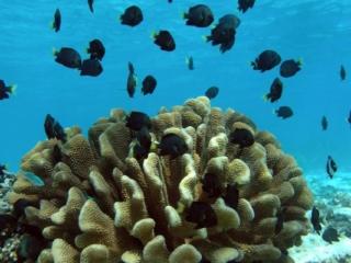 dark angelfish on coral hed