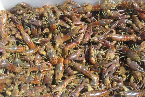 The invasive crayfish, Orconectes rusticus
