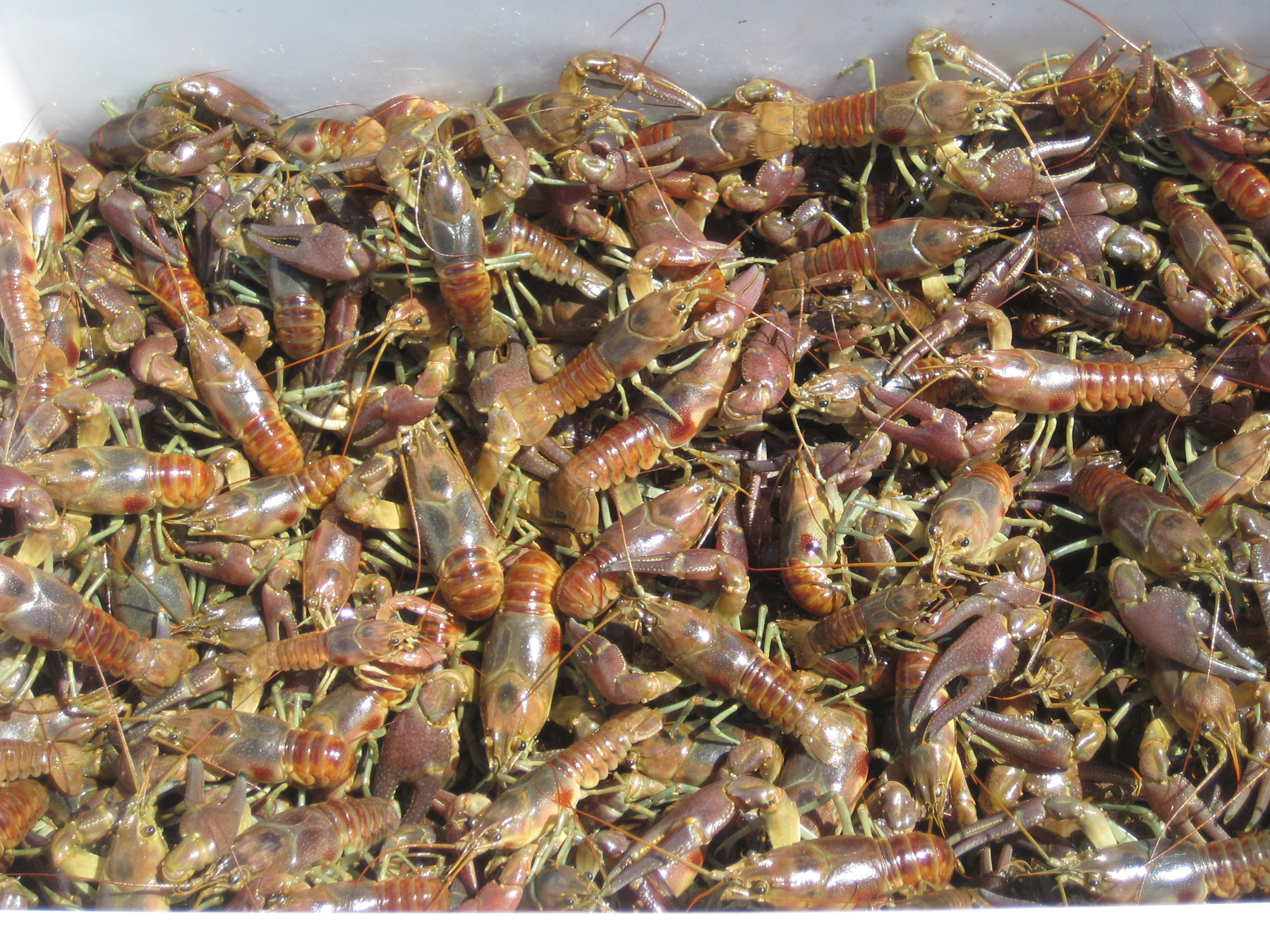 The invasive crayfish, Orconectes rusticus