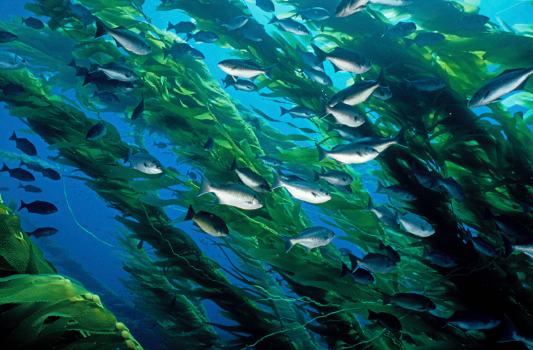 fish swimming through giant kelp forest
