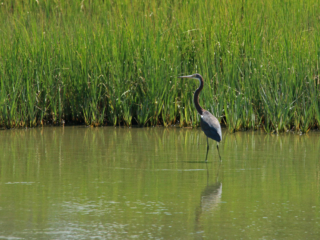 heron, wading in a marsh creek