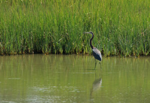 heron, wading in a marsh creek