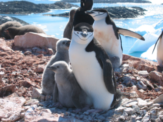 penguins on rocky shore with water behind and fuzzy chicks