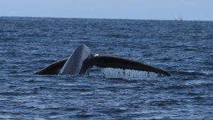 Blue Whale tale in Monterey Bay