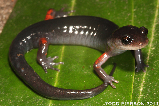 A red legged salamander from Coweeta LTER site.