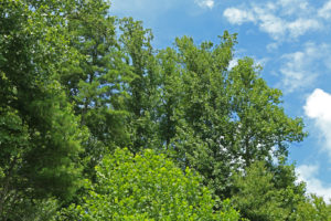 Coweeta Forest canopy.