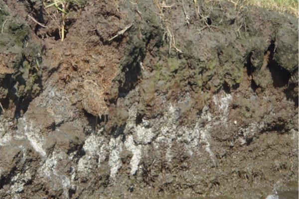 grayish-white mottling of sediment profile cutaway at marsh bank.