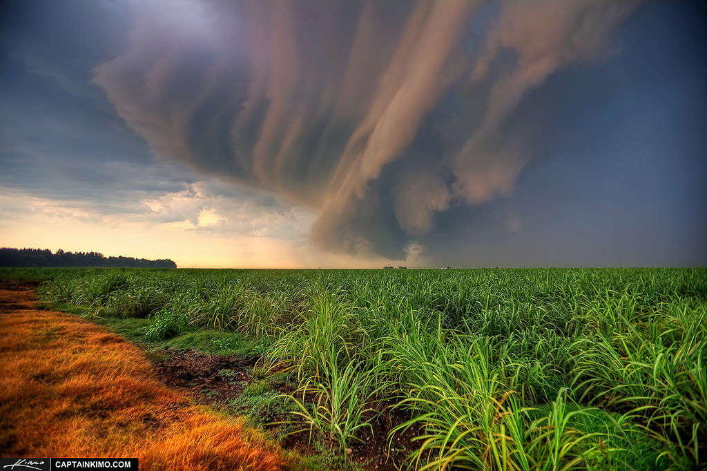 A sugar cane field in Florida