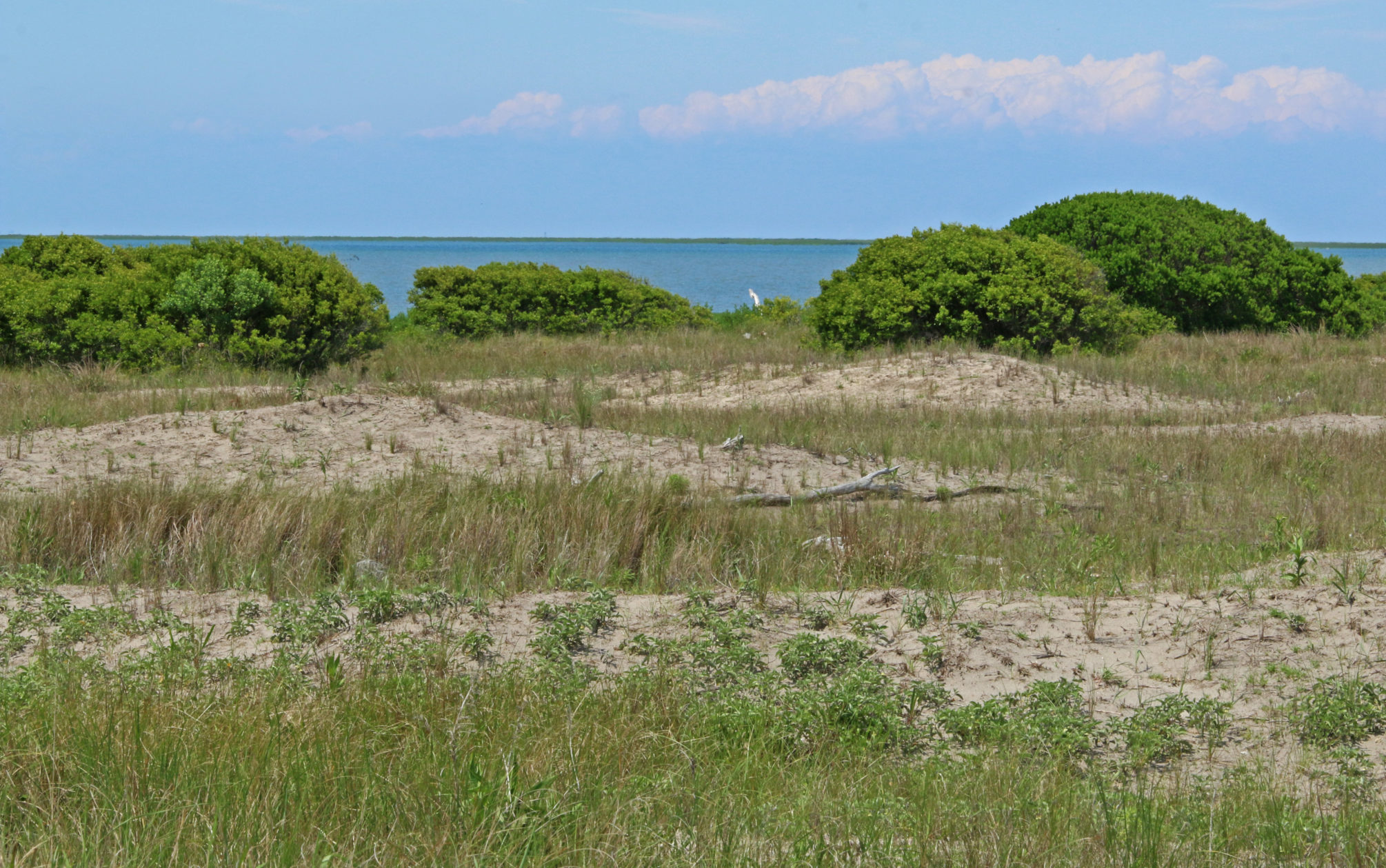 Sand dunes giving way to taller shrubs that have rapidly expanded on these barrier islands thanks to a warming climate.