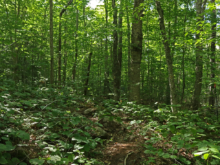 A northern temperate forest on a summer afternoon.