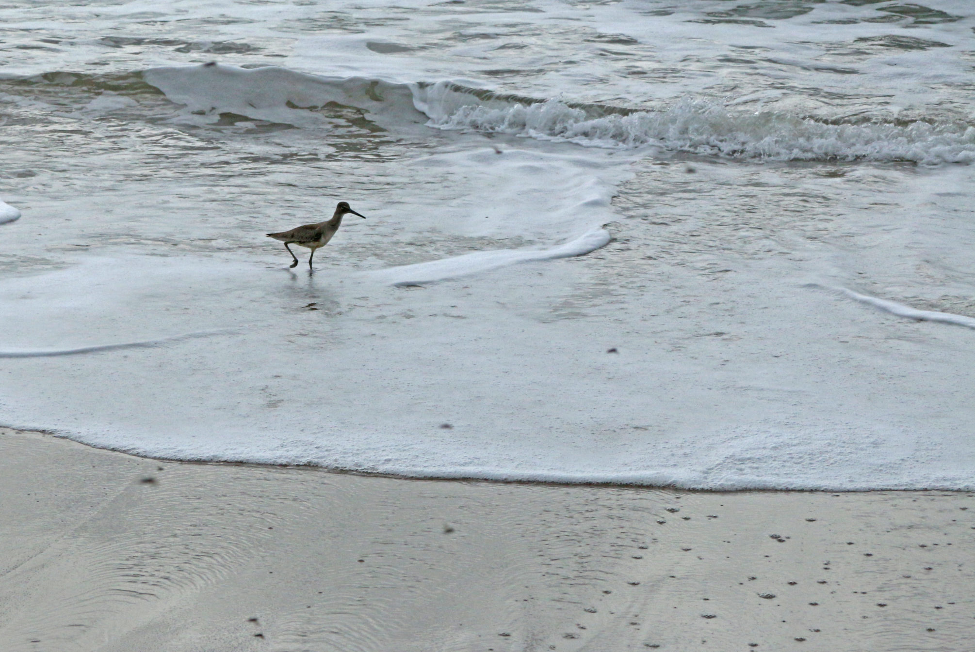 A hungry shorebird searches for tiny crustaceans - including beach hoppers - to pluck from the shoreline.