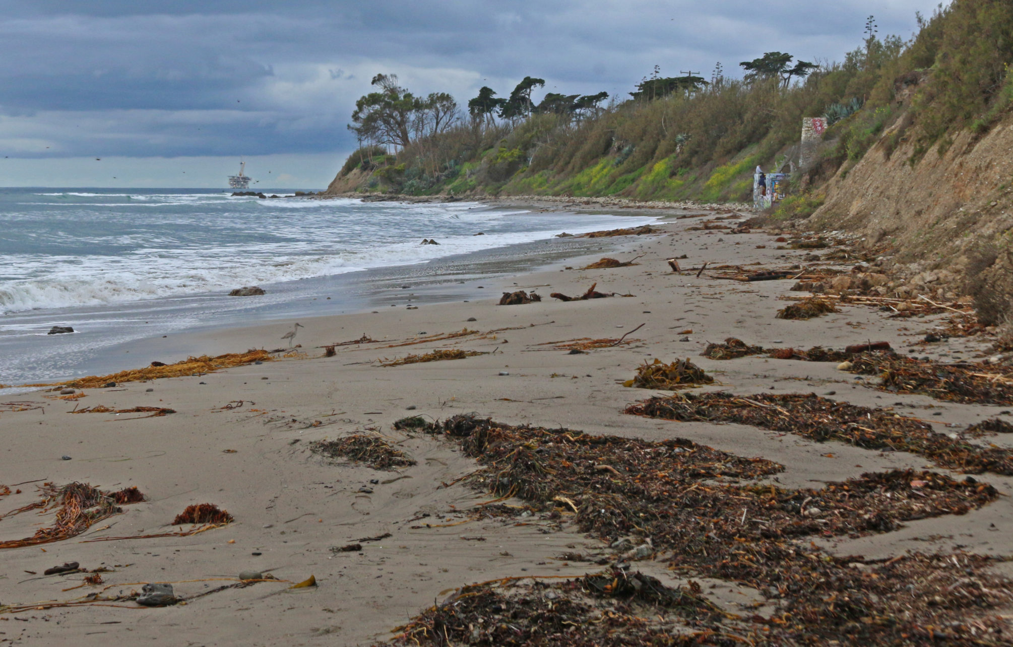 One of the beaches that comprises the Santa Barbara Coastal LTER Site, where beach wrack is a key part of the ecosystem.