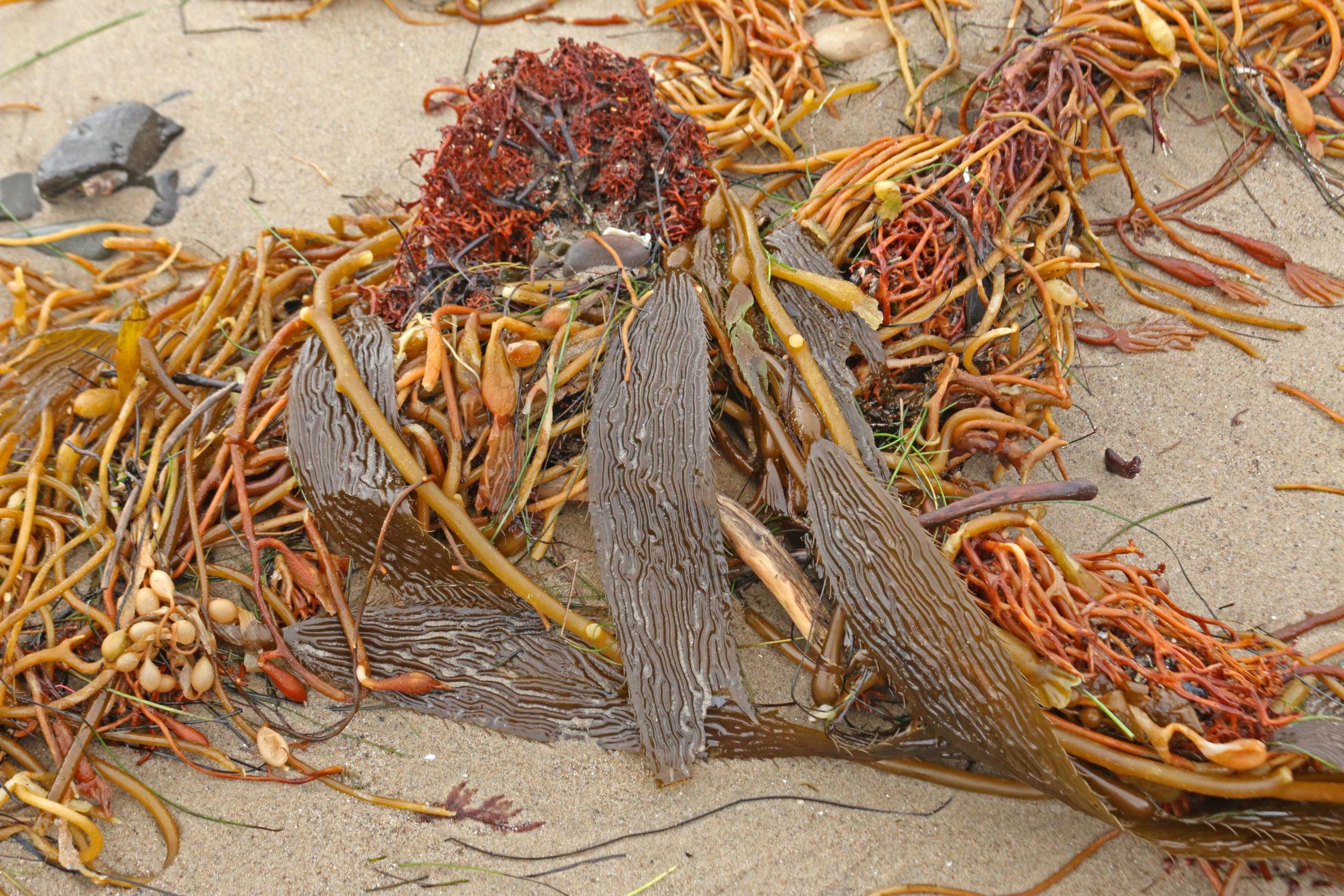 Close up of kelp fronds