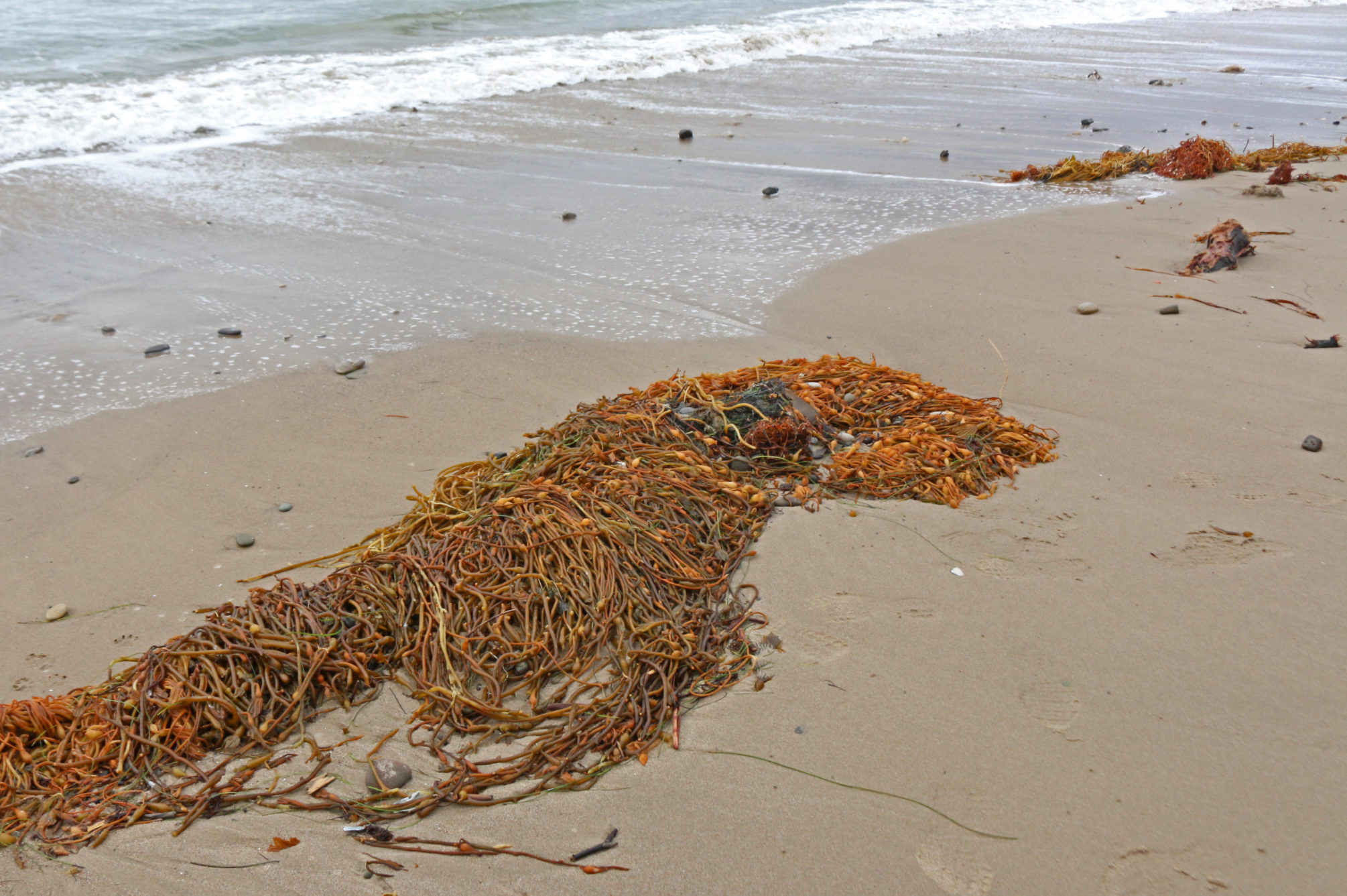 Beach wrack (kelp and other ocean debris washed ashore) is prime habitat for beach hoppers and many other tiny nearshore animals.