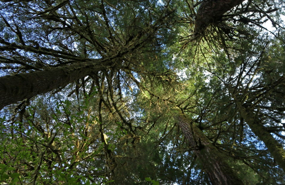 Looking up at the Douglas Fir canopy in Andrews Forest.