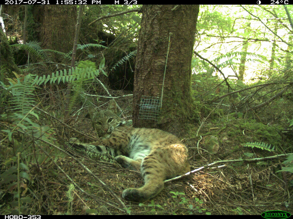 A bobcat captured on the camera trap, courtesy of Marie Tosa.