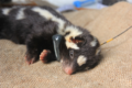 A skunk outfitted with a transmitter.