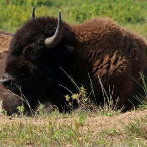 Lounging bison at Cedar Creek Ecosystem Science Reserve.
