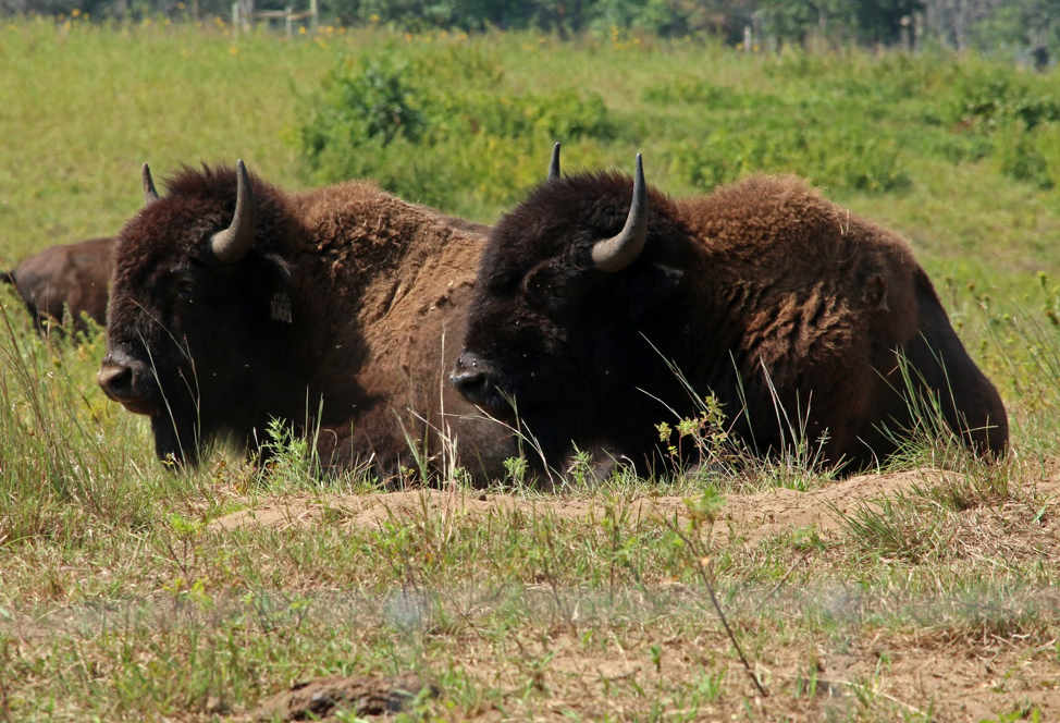 Lounging bison at Cedar Creek Ecosystem Science Reserve.