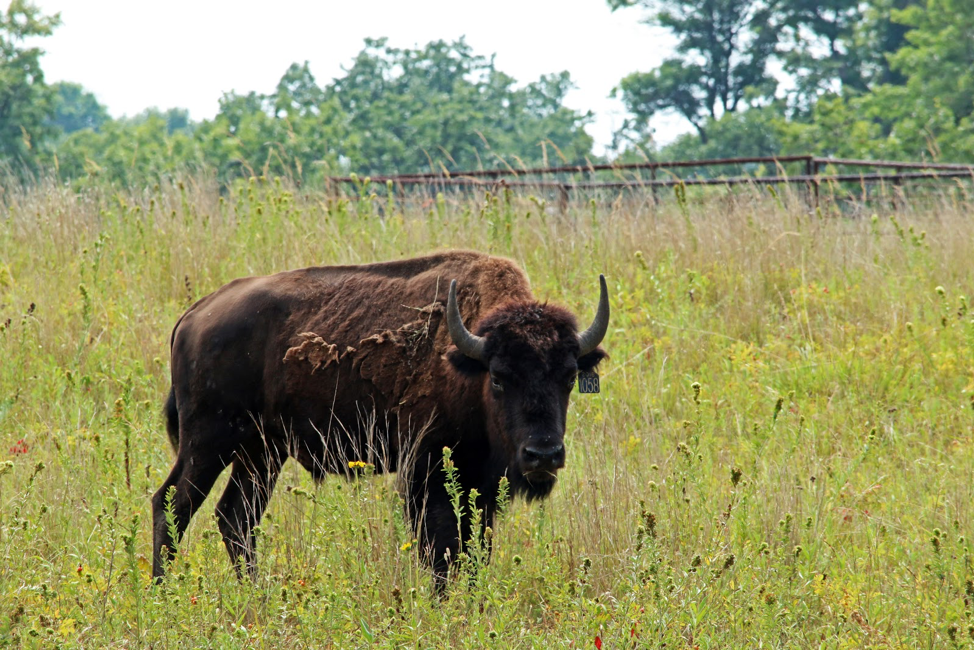 Bison and a bison exclosure in the background.