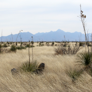 Yucca plants dot the grasses at Jornada Basin LTER.