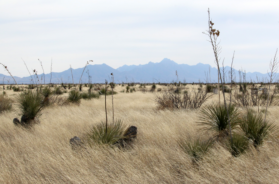 Yucca plants dot the grasses at Jornada Basin LTER.