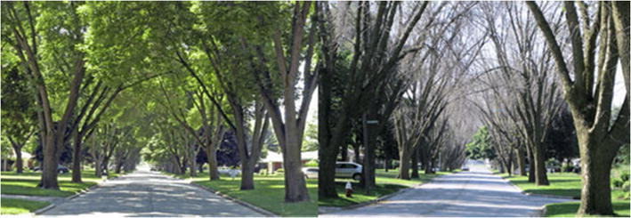Defoliation by the emerald ash borer in Toledo OH. Left, before infestation by the beetle (June 2006). Right, mortality of ash trees in June 2009, after infestation. Photos courtesy Daniel A. Herms, The Ohio State University