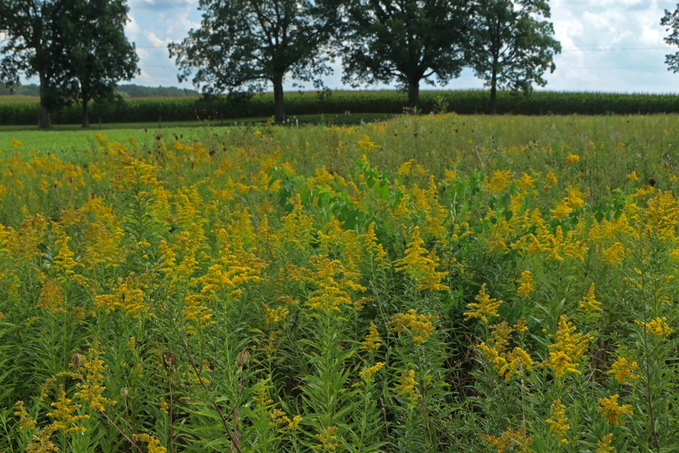 Goldenrod in one of the prairie plots.